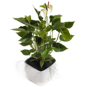 Awesome white Anthurium