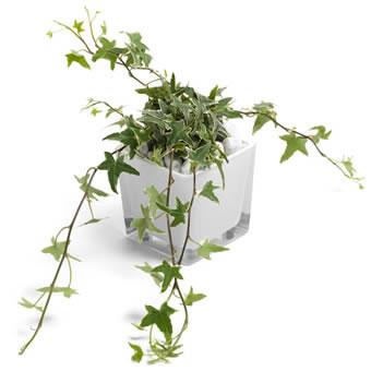 gr ner efeu in pott pflanzenlieferung zur wunschadresse. Black Bedroom Furniture Sets. Home Design Ideas