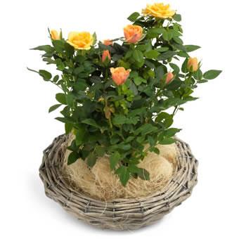 apricot zwergrose in einem wei en korb mit einem griff. Black Bedroom Furniture Sets. Home Design Ideas