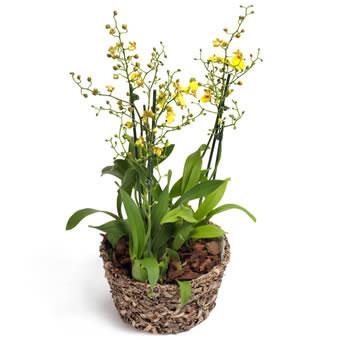 gelbe oncidium orchidee orchideenversand euroflorist. Black Bedroom Furniture Sets. Home Design Ideas
