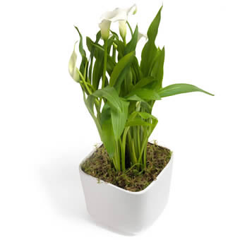 Peaceful Plant in White