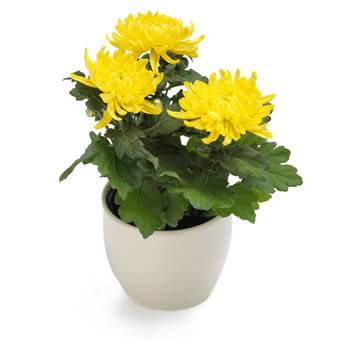 Yellow chrysanthemum large blossom