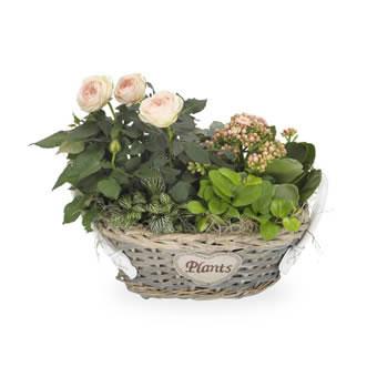 rosa pflanzenmix als geschenk f r frauen. Black Bedroom Furniture Sets. Home Design Ideas