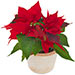 Rote Poinsettie