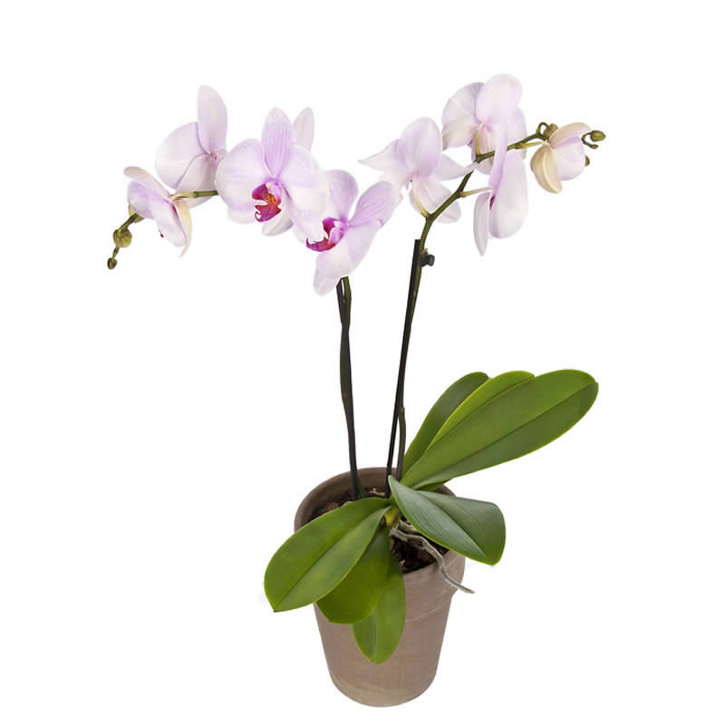 Orchidee in Rosa