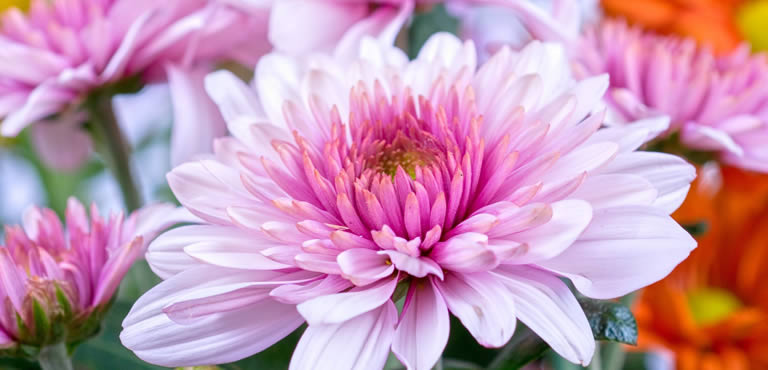 Rosafarbene Chrysanthemen