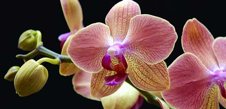 Orchideen online verschicken