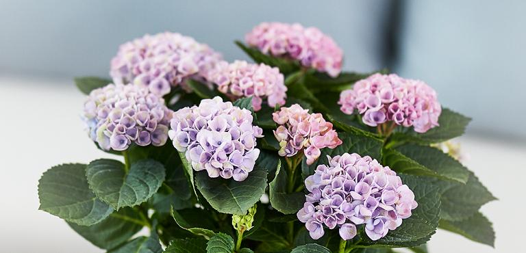 Purpur und Violette Blumen versenden
