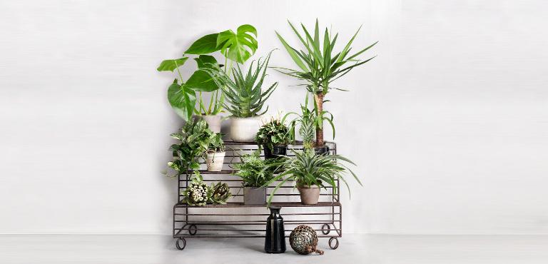 Pflanzen online kaufen, zimmerpflanzen online, pflanzen online shop
