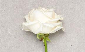 Bedeutung rote rose whatsapp