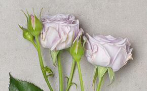 Lavendelfarben Liebe auf den ersten Blick