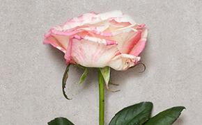 Rosafarbende Rosen